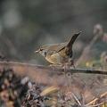 Photos: ウグイス(鶯)