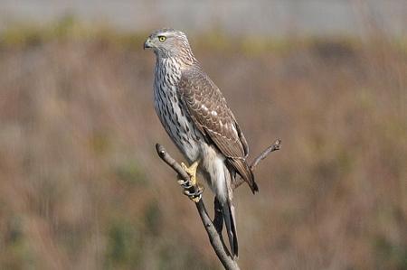 オオタカ(幼鳥)の雄姿