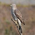 写真: オオタカ(幼鳥)の雄姿
