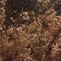 桜、雨に踊る