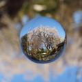 宙玉の枝垂桜