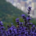 Photos: ラベンダーと蜜蜂の三重奏♪
