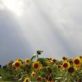 夏・天使達が舞い降りるヒマワリ畑