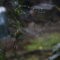 写真: 雨の日のクモ