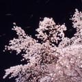 写真: 六義園のしだれ桜