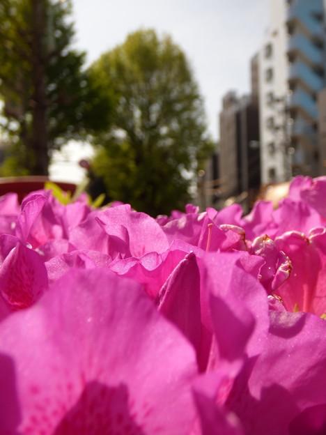 植込みのツツジの花、咲き誇る。