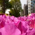 写真: 植込みのツツジの花、咲き誇る。