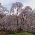 浅間大社 枝垂桜