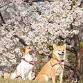 桜巡り2011(深北緑地・ドッグラン)
