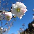山里の十月桜