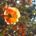 アンネ・フランクのバラ