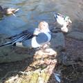 Photos: 白鳥様と鴨さん天国の池。