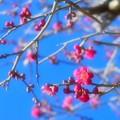 早春ほんわか梅