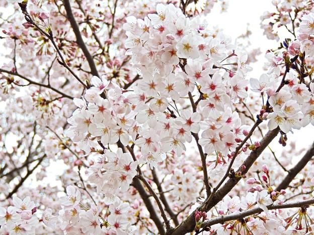 春桜花(1)2016