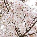 Photos: 春桜花(1)2016