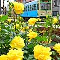 写真: バラの季節(黄)