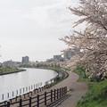 旧中川河畔の桜