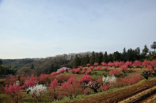 【保木の桃畑】1