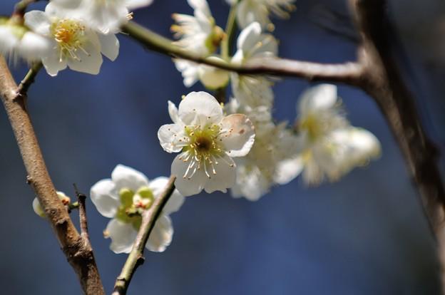 【三渓園・緑萼梅】2