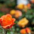 Photos: 神代植物公園_【スヴェニール・アンネ・フランク】