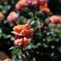 Photos: 神代植物公園_【アリゾナ】