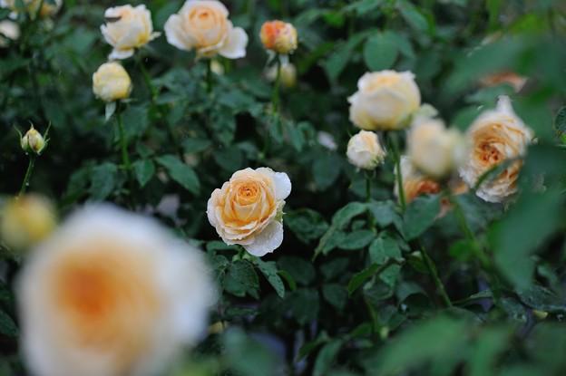 【生田緑地ばら苑:秋バラ(キャラメル・アンティーク)】1