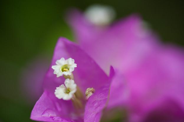 【庭の花・ブーゲンビリア】