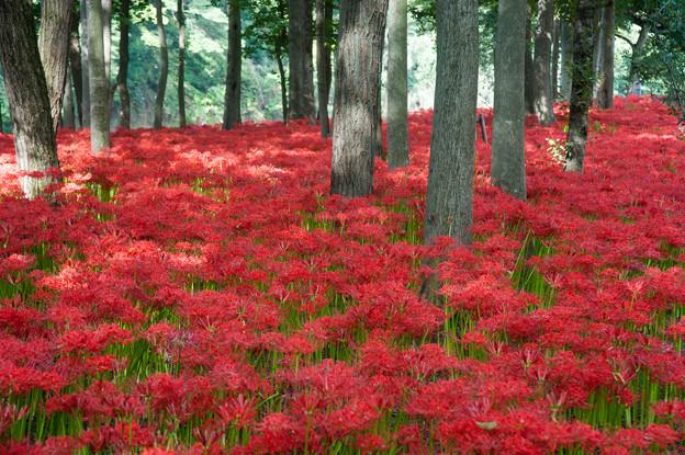 【巾着田の彼岸花】赤い絨毯3