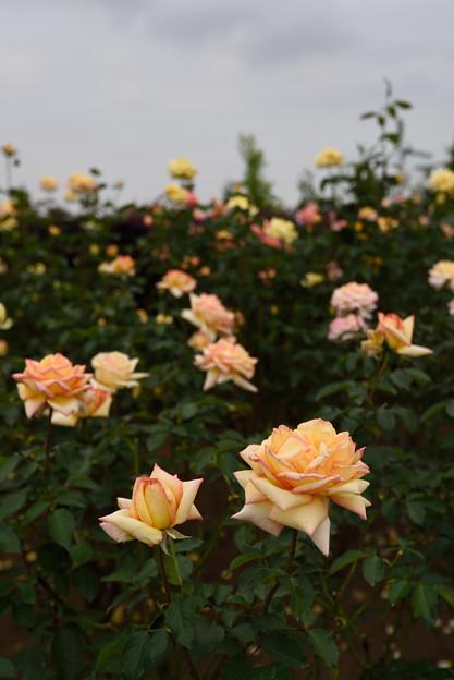 【花菜ガーデンの薔薇(モンテカルロ)】1
