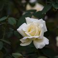 【花菜ガーデンの薔薇(ガーデン・パーティー)】