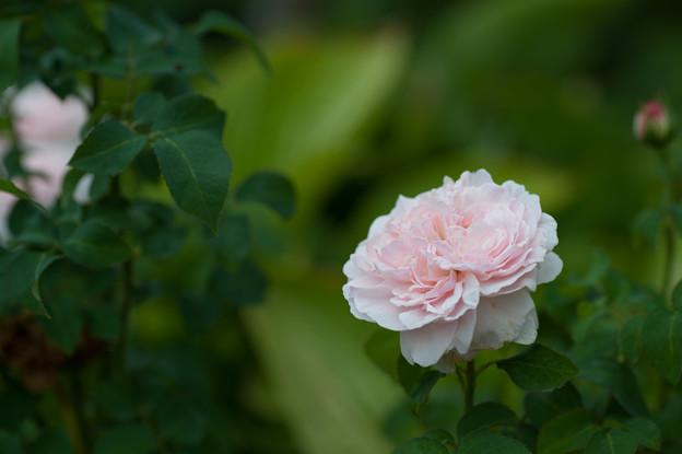 【花菜ガーデンの薔薇(ミス・アリス)】