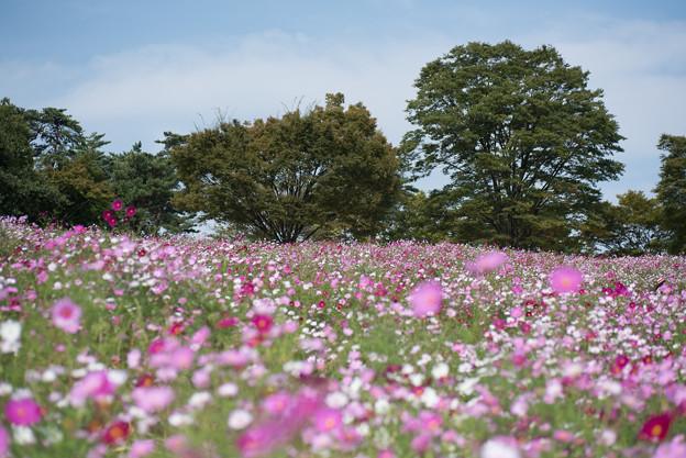 【昭和記念公園(花の丘)】青空にコスモス4
