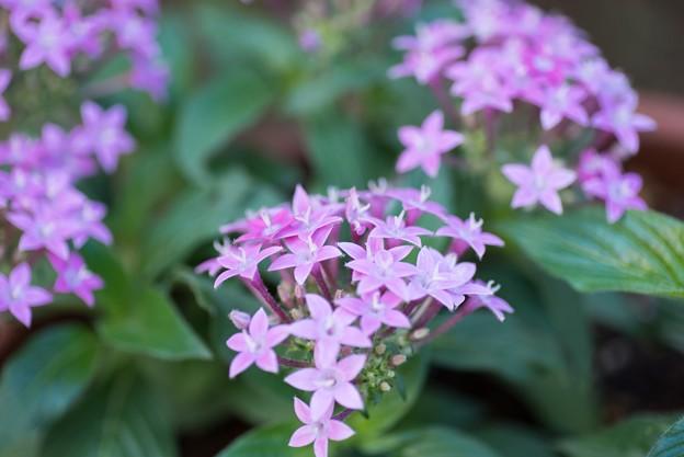 【庭の花:ペンタス】1