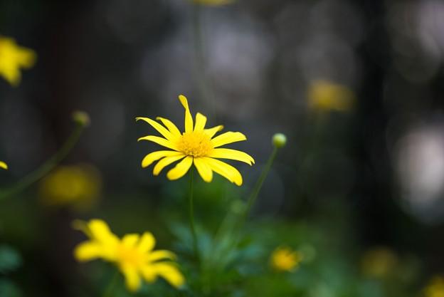 【庭の花:ユリオプス・デージー】1