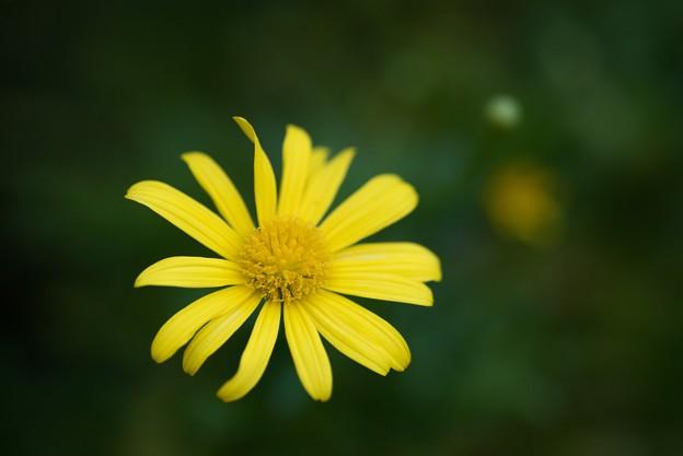 【庭の花:ユリオプス・デージー】2