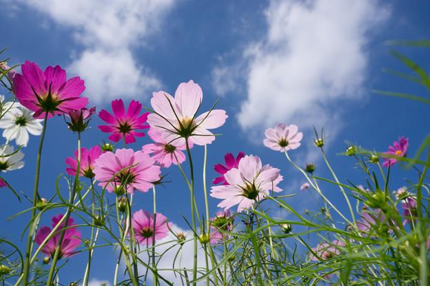 【昭和記念公園(花の丘「青空」】2