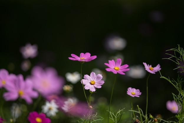 【昭和記念公園(花の丘「黒の背景」】5