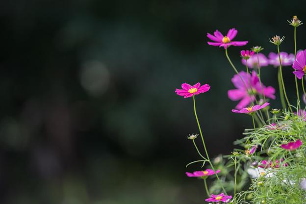 【昭和記念公園(花の丘「望遠で」】4