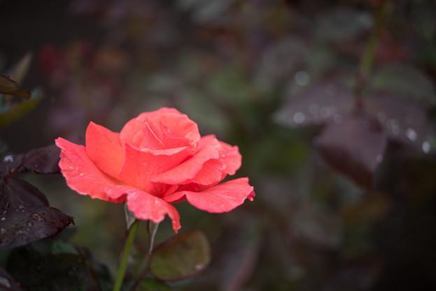 Photos: 【神代植物公園(ポリネシアン・サンセット)】