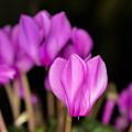 【庭の花(シクラメン)】1