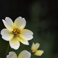 【庭に咲いたウインターコスモス】3