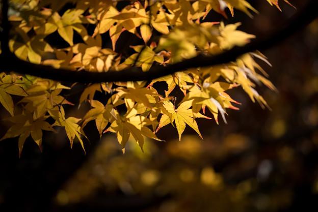 【昭和記念公園(日本庭園の黄葉)】3