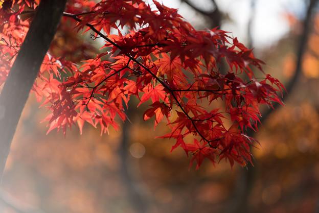 【昭和記念公園(日本庭園の紅葉ピックアップ)】2