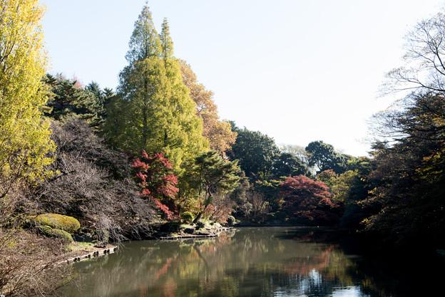 Photos: 【新宿御苑(下の池「一本カエデ」)】1