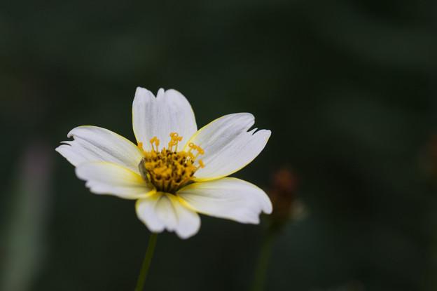 【庭の花(ウインターコスモス)】