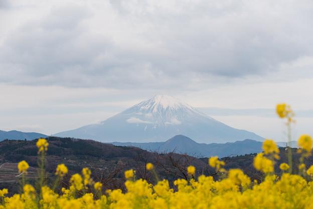 【吾妻山公園(富士山と菜の花)】4
