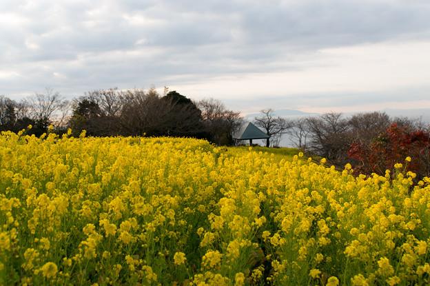 【吾妻山公園(菜の花)】1