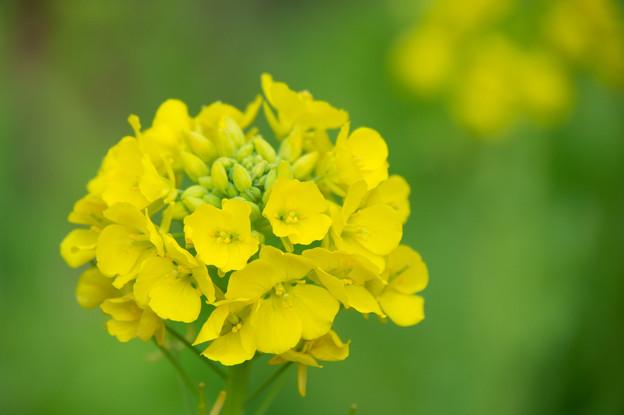 【吾妻山公園(菜の花)】3