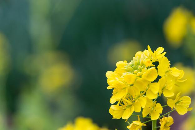 【吾妻山公園(菜の花)】4