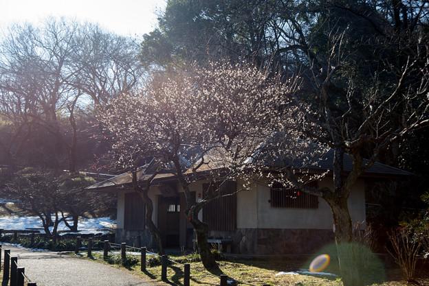【大倉山公園梅林(田子の浦)】1